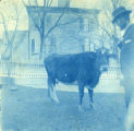 Unidentified man with cow
