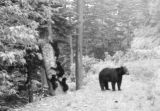 Black bear with four bear cubs