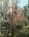 Flowering tree, Great Smoky Mountains